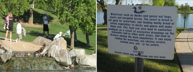Ducks being fed bread and a useless sign forbidding it.